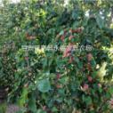 供应新鲜大杏子,农家新鲜大杏子价格,新鲜大杏子直销,新鲜大杏子批发
