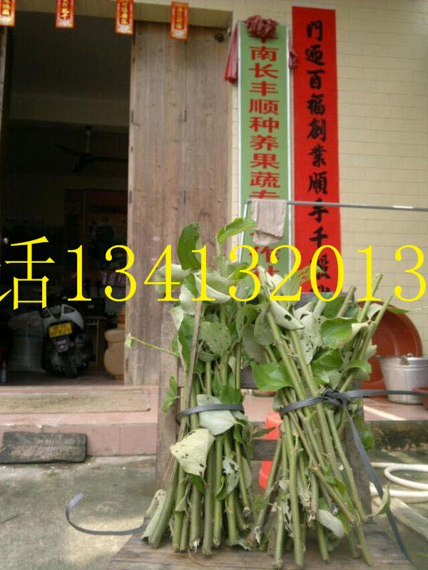 供应用于水果的蜜丝枣嫁接技术,多少钱一斤蜜丝枣嫁枝条 蜜丝枣嫁枝条新鲜包装
