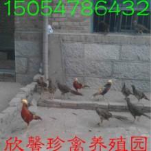 供应白腹锦鸡养殖