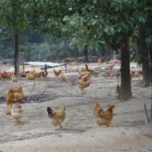 供应广西散养土鸡养殖场