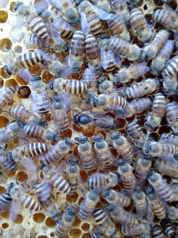 湖南蜜蜂哥哥供应龙山蜜蜂中蜂种蜂 养蜂工具 养蜂技术 蜂药批发零售