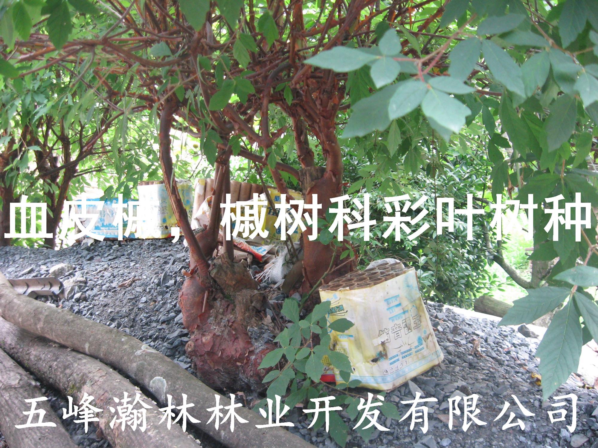 供应彩叶树槭树科槭树属血皮槭苗