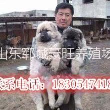 供应用于贸易的广东汕头肉狗一只多少钱?