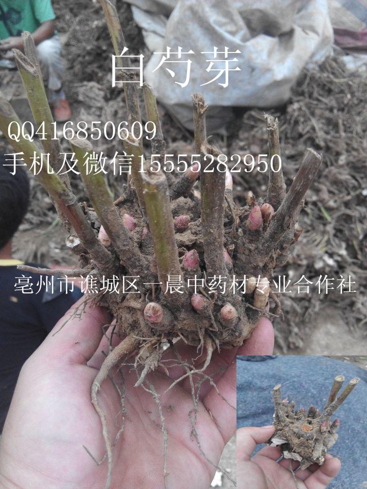 白芍白芍芽子图片