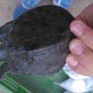 江西养殖甲鱼场纯种中华鳖苗批发价图片