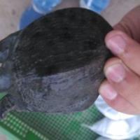 供应用于养殖的江西养殖甲鱼场纯种中华鳖苗批发价/优质甲鱼苗批发价格是多少钱一只