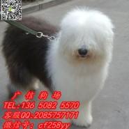 广州哪里有卖古牧犬 纯种古牧犬哪图片