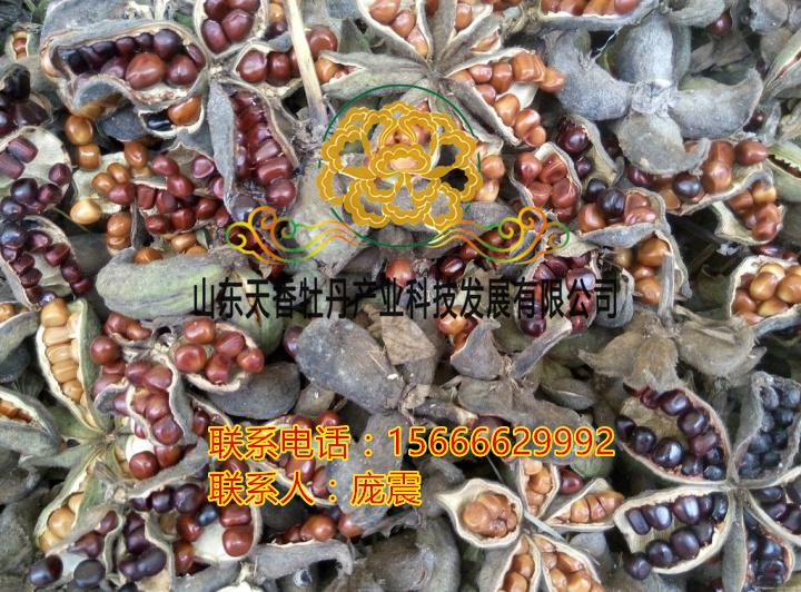 油牡丹籽优质榨油籽大量出售早教软体摇铃图片