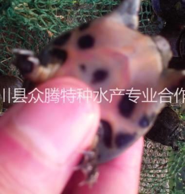 甲鱼苗图片/甲鱼苗样板图 (1)
