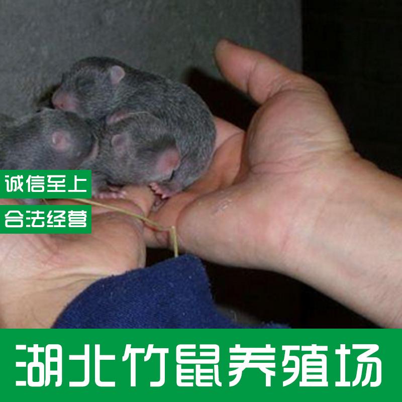 竹鼠图片/竹鼠样板图 (4)