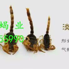 金泰蝎业供应清水干蝎子,联系电话18254555990