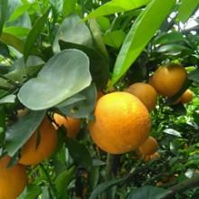 供应宜昌柑桔,厂家直销供应批发宜昌水果皇后味美皮薄柑桔 量大从优批发