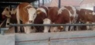 发源牧业肉牛繁育