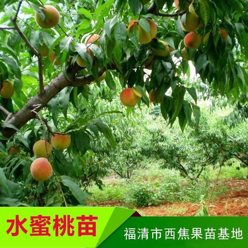 西焦果苗基地供应水蜜桃苗、水蜜桃树种苗 福州水蜜桃苗木批发