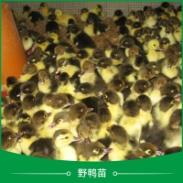 广州野鸭苗图片