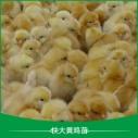 广州快大黄鸡苗图片