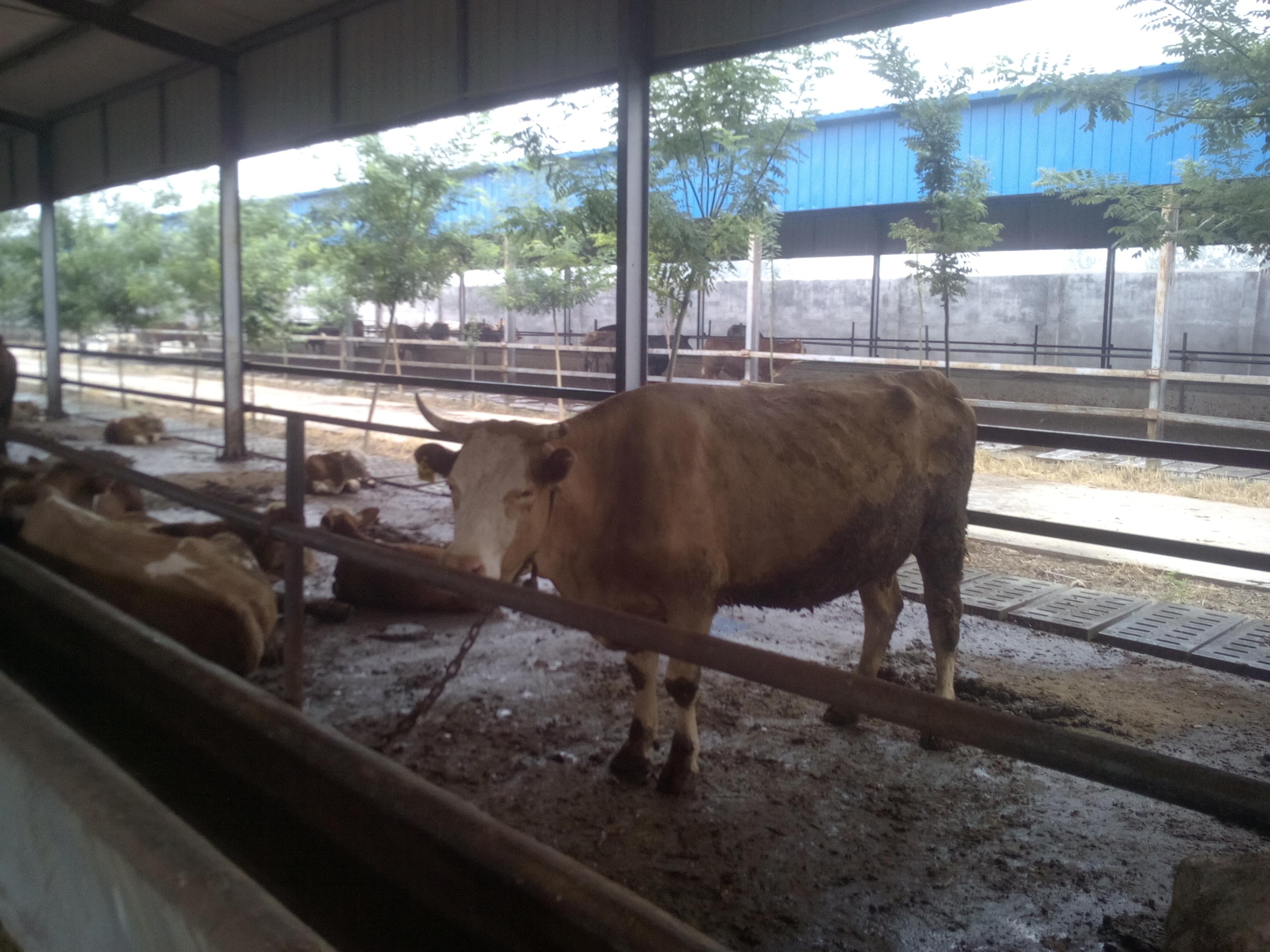 山东出售肉牛西门塔尔牛 鲁西黄牛价格 利木赞牛  肉牛养殖基地
