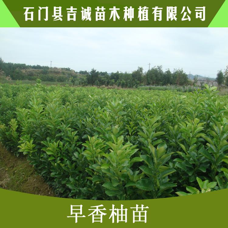 早香柚苗图片