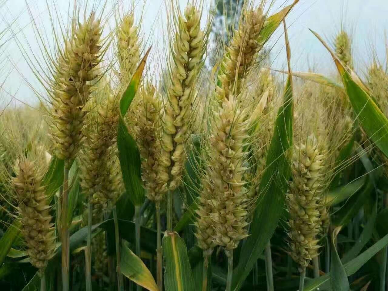 优质小麦图片/优质小麦样板图 (4)