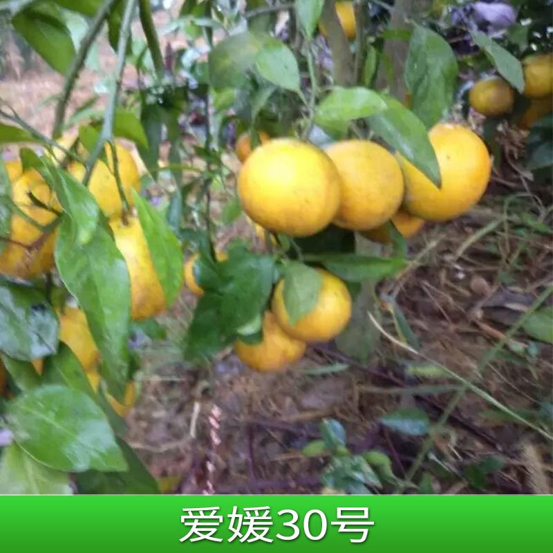 爱媛30号 砂糖桔 橘子苗 蜜柑 爱媛30号桔子苗 地栽桔子树 爱媛38号
