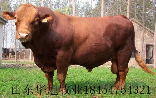 供应 广西肉牛黄牛种牛养殖加工肉牛批发