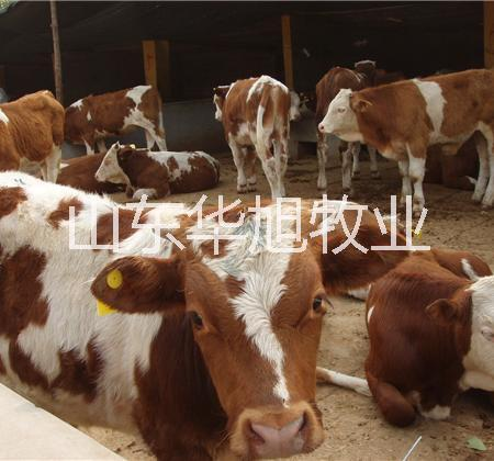 供应南阳肉牛种牛养殖场大型种牛基地西门塔尔牛,利木赞牛黄牛