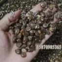 万象农业供应长寿果布福娜种子大雪藤药材种子,布福娜优质种子批发