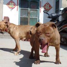 chushou  比特犬价格,出售纯种比特犬, 出售比特犬价格,出售纯种比特犬 纯种比特犬价格批发