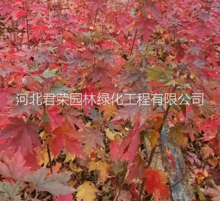 河北苗木基地供应1-3公分 秋火焰