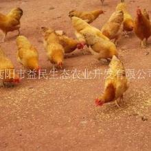 全国可发货 厂家直销 包打疫苗 湘黄鸡 正宗衡阳土鸡