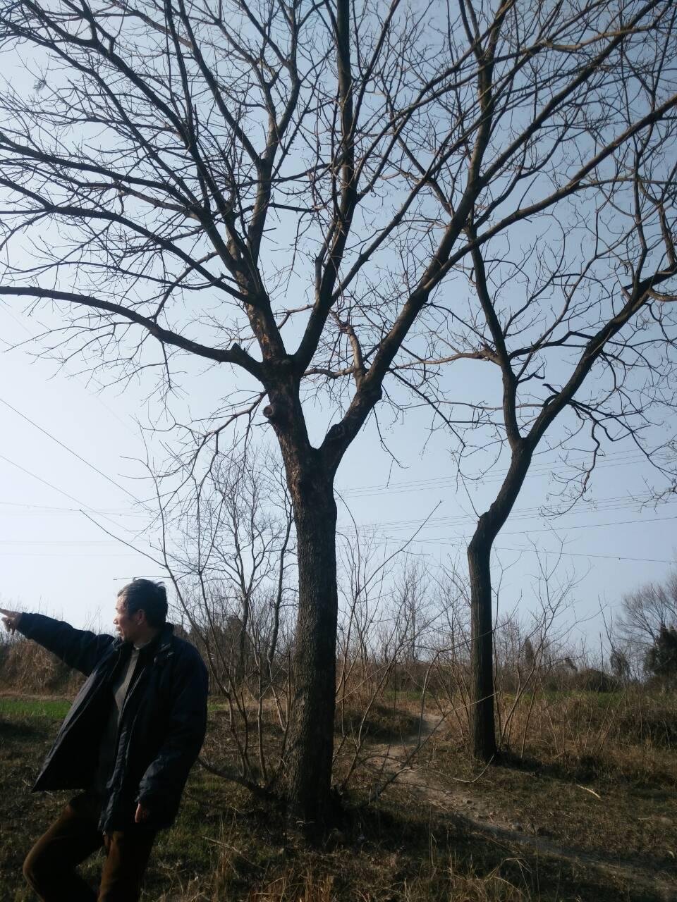 供应河南黄连木树价格@黄连木树种植基地批发@黄连木树有什么好?