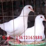 肉鸽养殖场电话