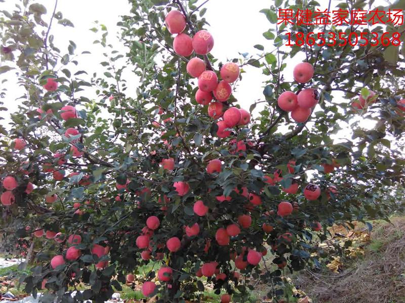 m9t337矮化自根砧成品苗、种苗、嫁接烟富0、烟富3、烟富8系列以及2001品种