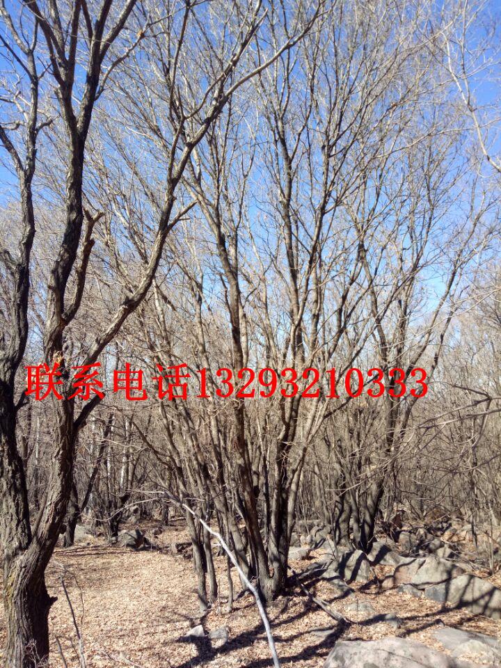 河北蒙古栎批发销售