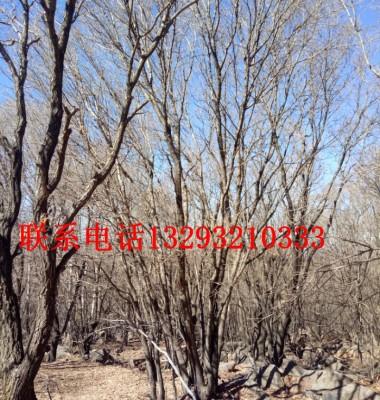 蒙古栎图片/蒙古栎样板图 (1)