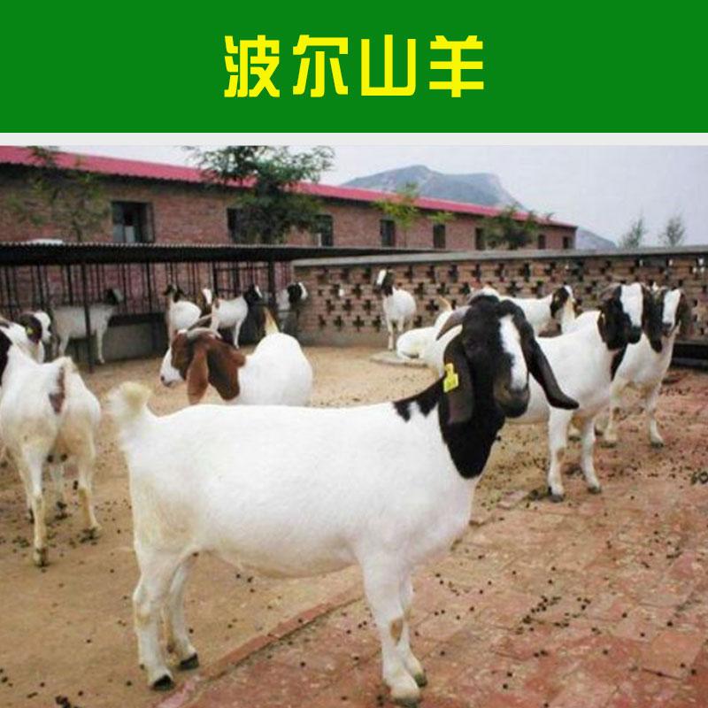 山东波尔山羊价格报价 山东波尔山羊价格多少钱 波尔山羊羊羔报价