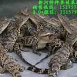 鳄鱼商品鳄鱼出售鳄鱼苗出售鳄鱼多少钱斤鳄鱼苗什么价位常年出售鳄鱼苗