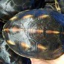 中华草龟种苗图片