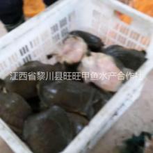 成年甲鱼黎川成年甲鱼出售成年甲鱼养殖场批发成年甲鱼