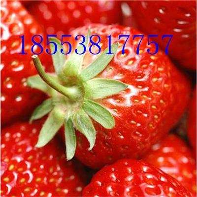 宁玉草莓苗 2017年宁玉草莓苗多少钱一棵