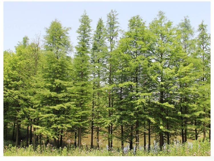 118中山杉种植基地|118中山杉小苗批发价格|8公分中山杉价格