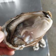 牡蛎价格 生蚝货源 鲜活海蛎子 批发水产