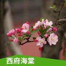 特价销售 年宵花卉 西府海棠 盆栽花卉 花期长 优质品种