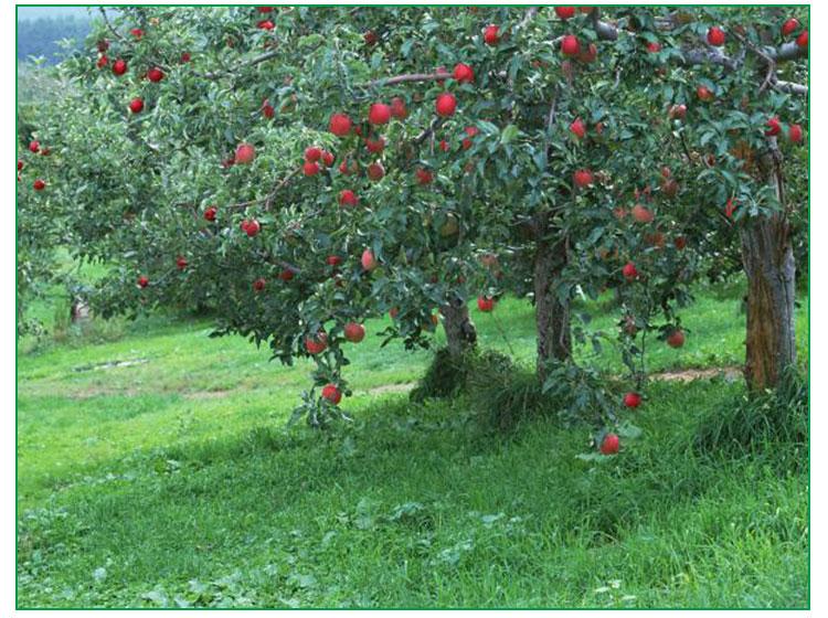 苹果树是乔木,高可达15米,多具有圆形树冠和短主干;小枝短而粗,圆柱