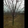 青岛法桐树|山东法桐树|青岛法桐树苗 法桐树苗供应商