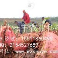 定州烟薯25红薯行情 杭州烟薯25红薯品种