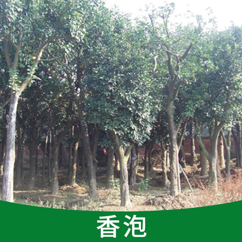 基地直销 香泡 园艺市政园林苗木 净化空气工程绿化苗木环保