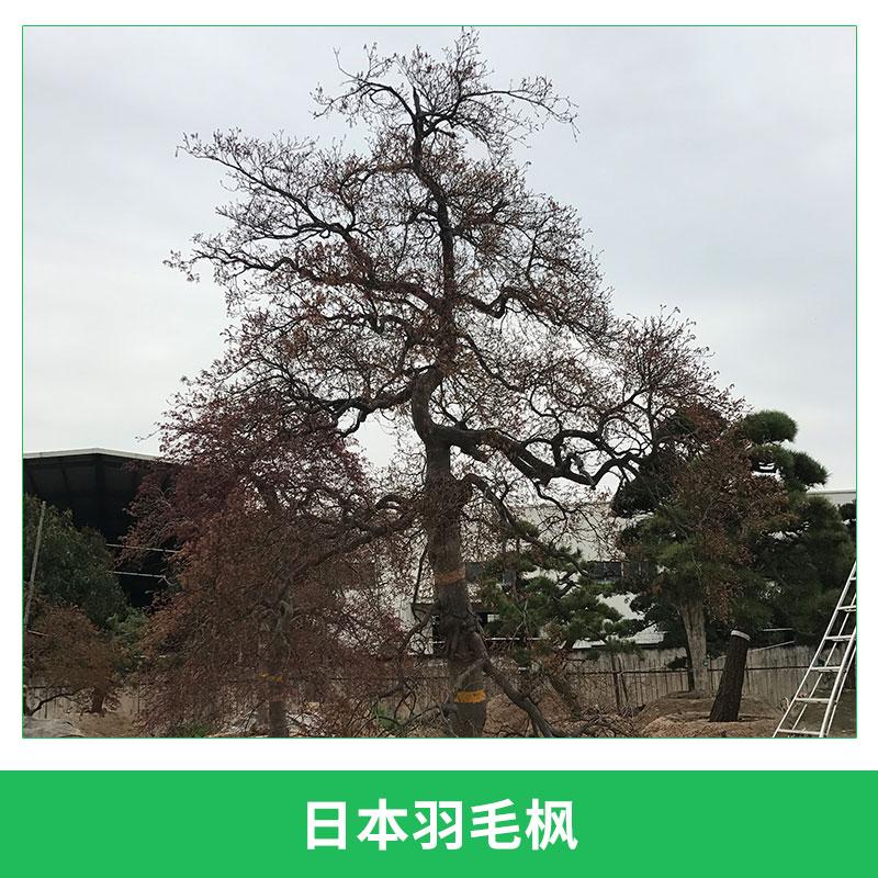 园林庭院观赏树盆栽日本羽毛枫园艺落叶灌木彩叶羽毛枫