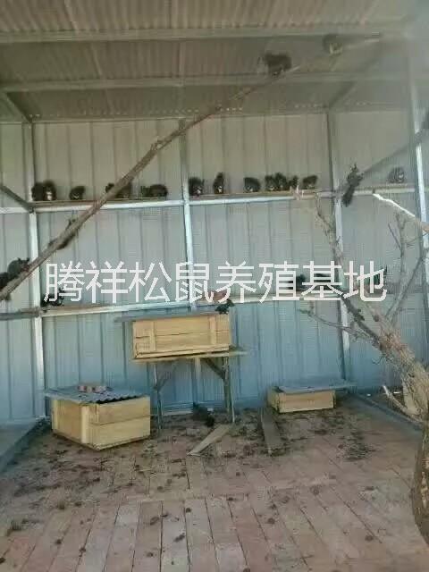 宠物松鼠哪里有卖宠物松鼠Z魔王松鼠多少钱一只 宠物松鼠价格