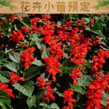 青州万方花卉苗木绿化工程有限公司 主营花卉小苗预定 欢迎来电咨询批发